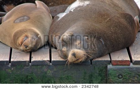 Seals taking a snooze on a floating dock poster