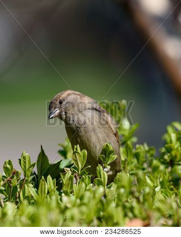 Beautiful Little Sparrow Bird In Natural Background. Generally, Sparrows Are Small, Plump, Brown-gre