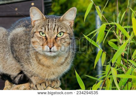 Brown Cat With Green Eyes. Brown Cat On Green Grass. Brown Cat. Brown Cat Portrait.