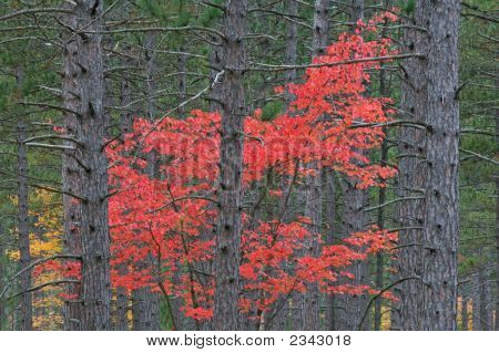 Maple In Pines