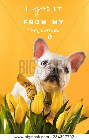 French Bulldog Dog And Beautiful Yellow Tulips With Mothers Day Greeting Isolated On Yellow