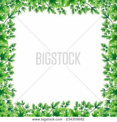Green Parsley Leaves At The Borders In The Square Of The Illustration. Inside An Empty White Backgro