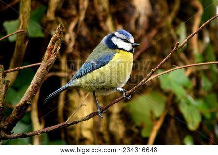 Blue Tit Bird In A Devon Lane Hedge