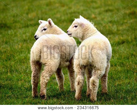 Spring Lambs In A Field Looking For Their Mother, An Ewe