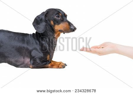 Hand Owner Feeding The Dog Breed Dachshund, Black And  Tan On White Background
