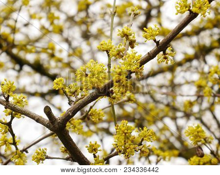 Yellow Blossom Of The Cornelian Cherry (cornus Mas) In Spring