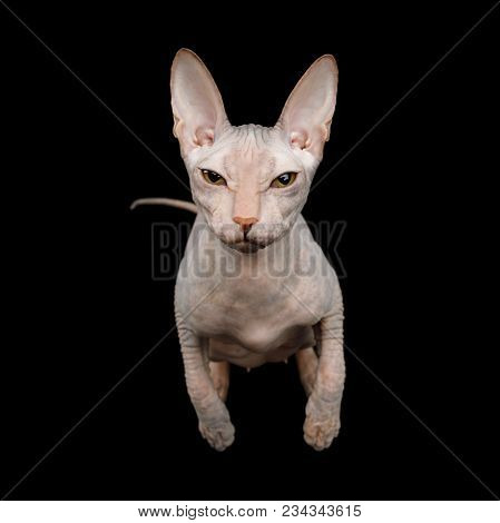 Playful Sphynx Cat Gazing in camera Isolated on Black Background poster