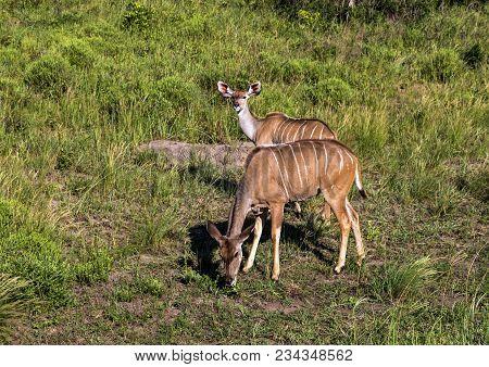 Two Young Nyala Buck Grazing On Grassland