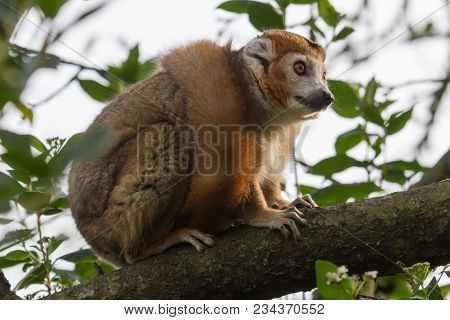 Photo Of A Crowned Lemur Sitting High In A Tree