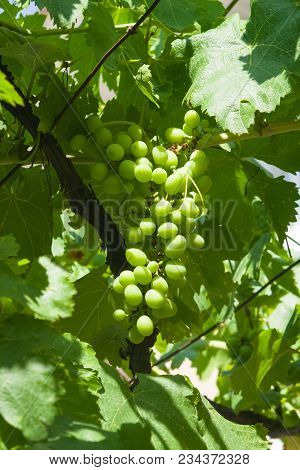 Bunch Of Green Unripe White Grapes In Leaves Growing On Vines Close-up, Selective Focus, Shallow Dof
