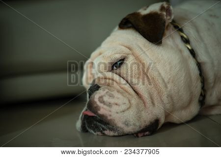 Close Up Head Of White English Bulldog Sleep On The Floor