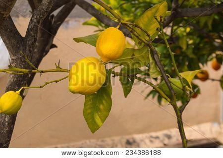 Lemons Well Yellow On The Branch Of A Lemon Tree On The Island Of Tenerife