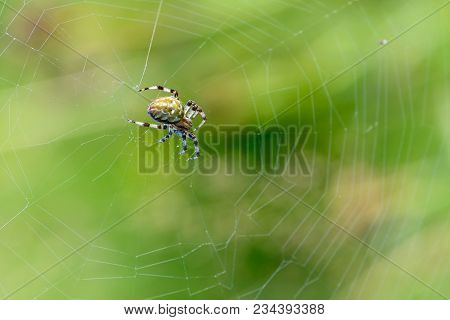 A Large Female Spider Sits In The Center Of Its Spiderweb On A Summer Meadow