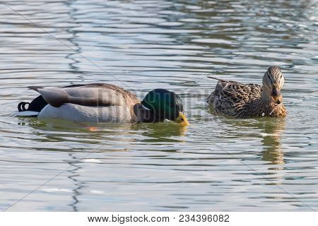 Wild Ducks Mallard Male And Female Anas Platyrhynchos.