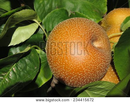 Nashi Pears Known Also As Apple Pears Hanging On The Tree . Pyrus Pyrifolia Is A Species Of Pear Tre