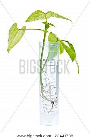 Gm Plant Seedling In Test Tube