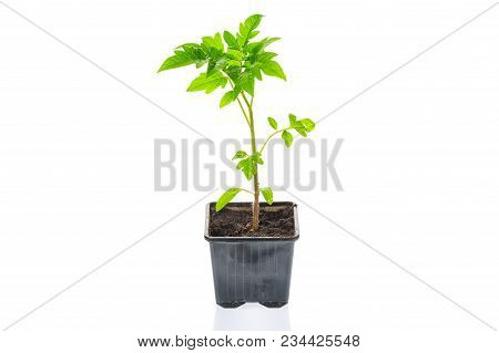Young Tomato Seedling Plant In A Pot Isolated On A White Background. Gardening. Farming And Spring C