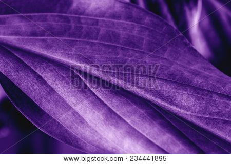 Leaf Plant Texture, Macro Shot. Ultra Violet Or Purple Color Toned As Abstract Backdrop For Your Des