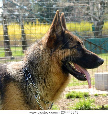 close up profile of german shepherd dog