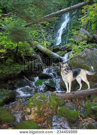 German Shepard Dog Standing On A Log