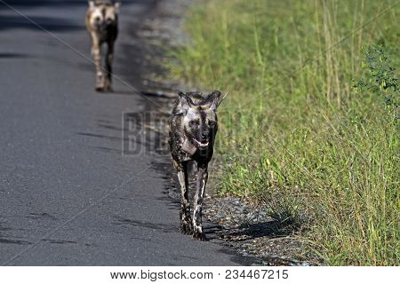 Two African Painted Wild Dogs Hluhluwe-imfolozi Wildlife Park
