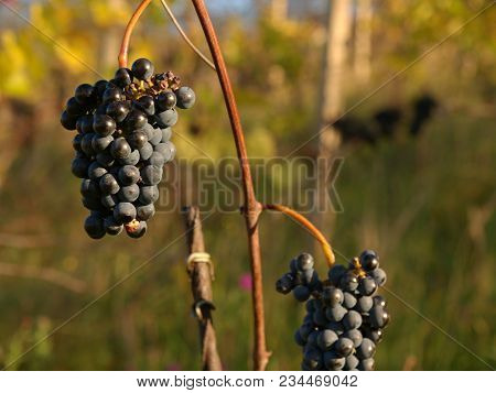 Detailed View Of A Frozen Grape Vines In A Vineyard In Autumn. Blended Grape Is Used To Produce The