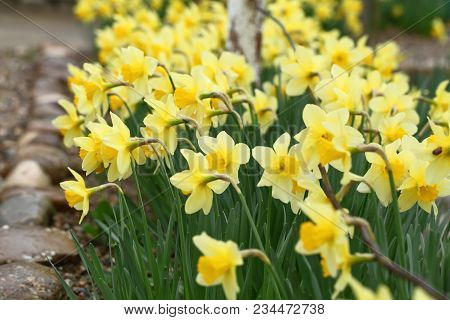 Yellow Narcissus Flowers In Garden. Spring Narcissus Flowers.
