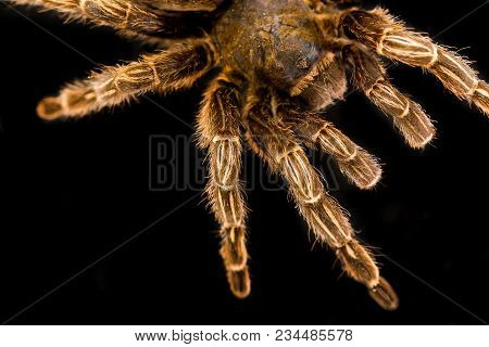 Buttal Tarantula Is Isolated On A Black Background.