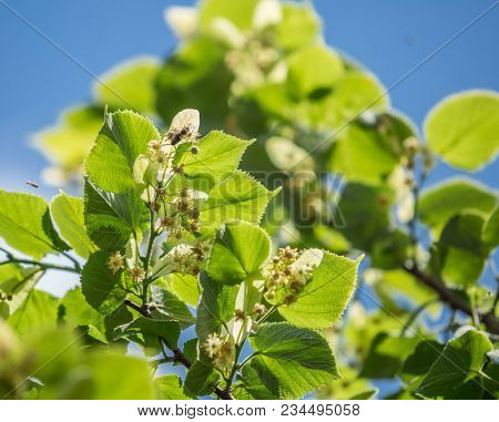 Linden tree in blossom. Nature background.