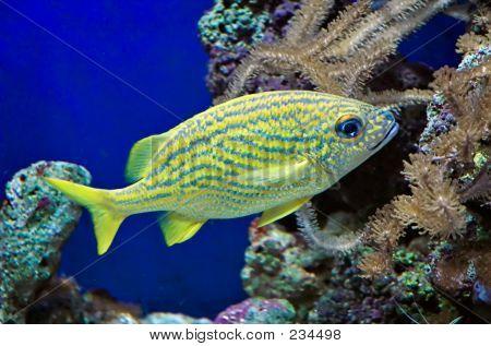 french grunt (haemulon flavolineatum) in aquarium poster