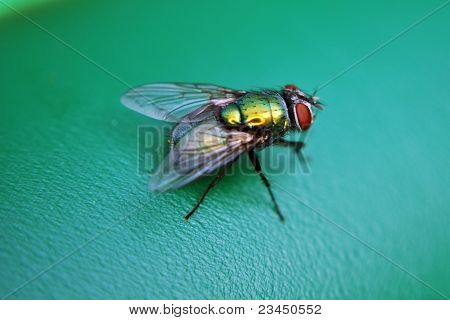 Filth fly resting on a green object