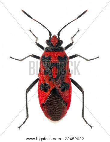 High angle view of Scentless plant bug, Corizus hyoscyami, in front of white background poster