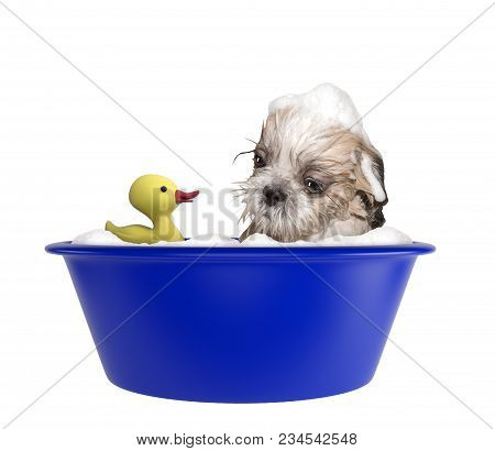 Cute Shitzu Dog Taking A Bubble Bath With Toy. Isolated On White Background