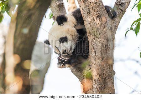 Panda Cub Sleeping In A Tree, Chengdu, China