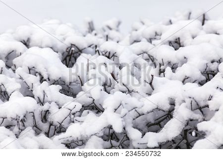 View Of A Snowy, Wintry And Covered Molar Hedge In Closeup.