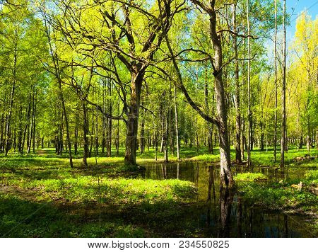 Spring Forest Landscape. Green Spring Forest Trees And Flooded Spring Forest Glade Under Soft Sunlig