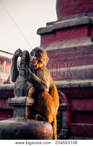 Macaque Monkey At Swayambhunath Stupa (the Monkey Temple), Kathmandu, Nepal