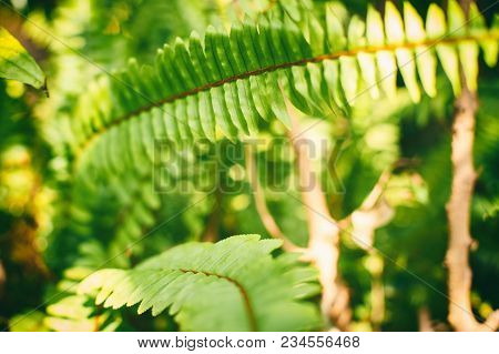 Western Sword Fern , Polystichum Munitum, Beautiful Ferns Leaf In Forest, Nature Background