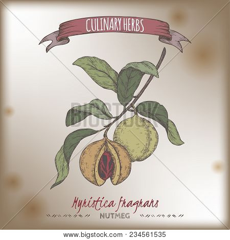 Nutmeg Aka Myristica Fragrans Hand Drawn Color Sketch. Culinary Herbs Collection. Great For Cooking,