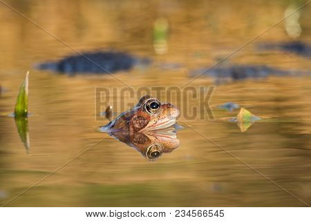 Common Brown Frog And Eggs In Spring. Wildlife Scene From Nature.  Animal In The Nature Habitat. Gro