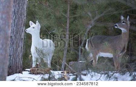 A White, White-tailed Deer Doe Stands Next To A More Common Colored Deer.  Winter In Wisconsin