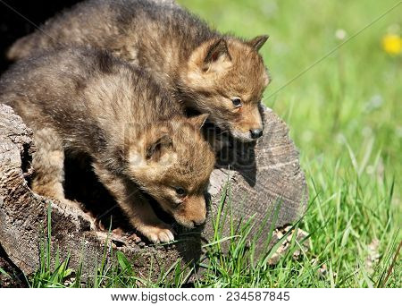 Playful, Young, Coyote Pups Emerge From A Hollowed Log