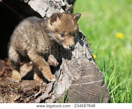 Young, Playful Coyote Pup, Emerges From A Hollowed Log