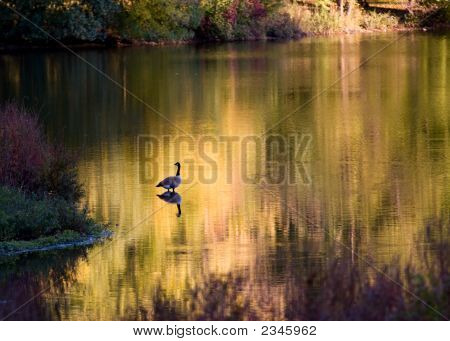 Lonely Goose In The River