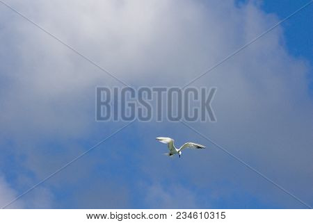 Lone Flying Sea Gull Hovers Against A Blue Sky With White Clouds, Hanging In Mid Air About To Dive,