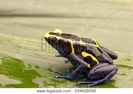 Deying poison dart frog, Dendrobates tinctorius, nominat or Kaw. A blue and yellow rain forest animal from the jungle of the Amazon.