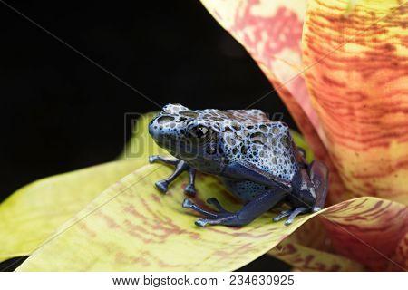 Blue and black poison dart frog, Dendrobates azureus. A beautiful poisonous rain forest animal in danger of extinction. Pet amphibian in a rainforest terrarium.