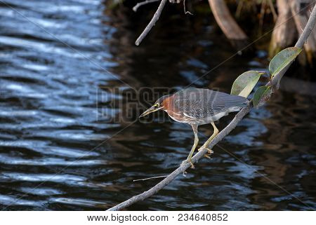 A Green Heron Perched On A Branch Just Over The Water Where It Is Hunting Fish And Other Small Anima
