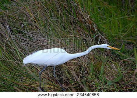 An Adult Great Egret Hunting Near The Waters Edge In The Florida Everglades.