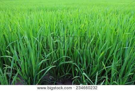 Young Rice Field Season Farming, Rice Field In Thailand.